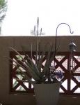 Aloe-March-2011.jpg