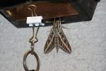 sphinx_moth.JPG